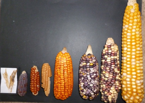 Semillas maiz Colombia 2014
