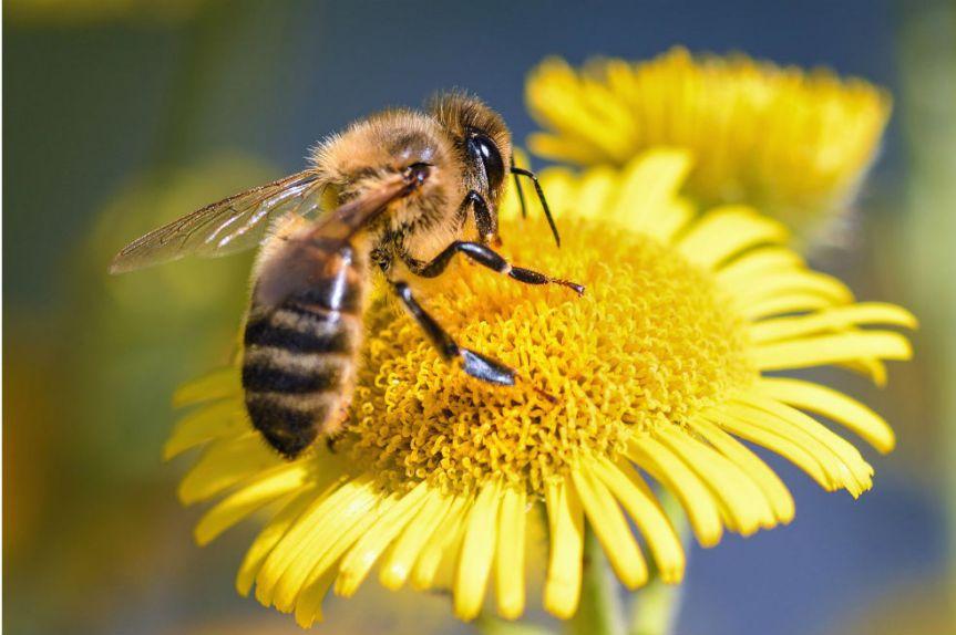 Buscan salvar las abejas de Colombia con proyecto deley.